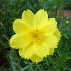 GetArrivals – Cosmos Yellow (OP/Desi) Seeds with Free Germination Potting Soil Mix