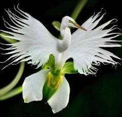 GetArrivals | Egret Flowers Seeds | White Egret Orchid Seeds | Radiata Rare White Orchid